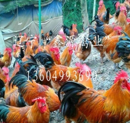 辽宁红公鸡