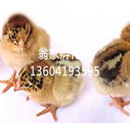 北京红鸡雏